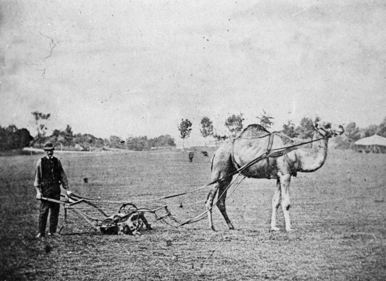 Camel hitched to a lawn mower, Sheep Meadow, 1869.