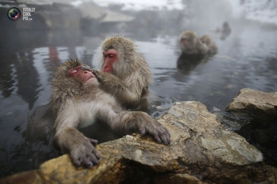 Japanese Macaques (or Snow Monkeys) groom each other in a hot spring at a snow-covered valley in Yamanouchi, Japan, 2014.