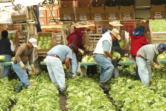 Migrant workers harvest lettuce in Salinas, 2006.